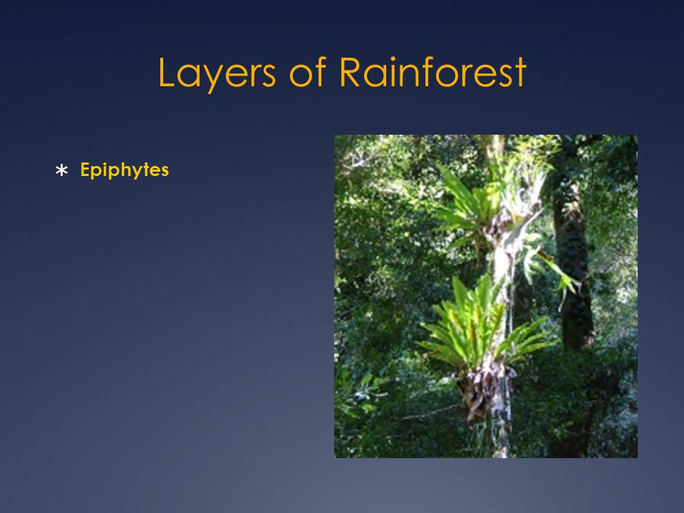 Layers of Rainforest Epiphytes