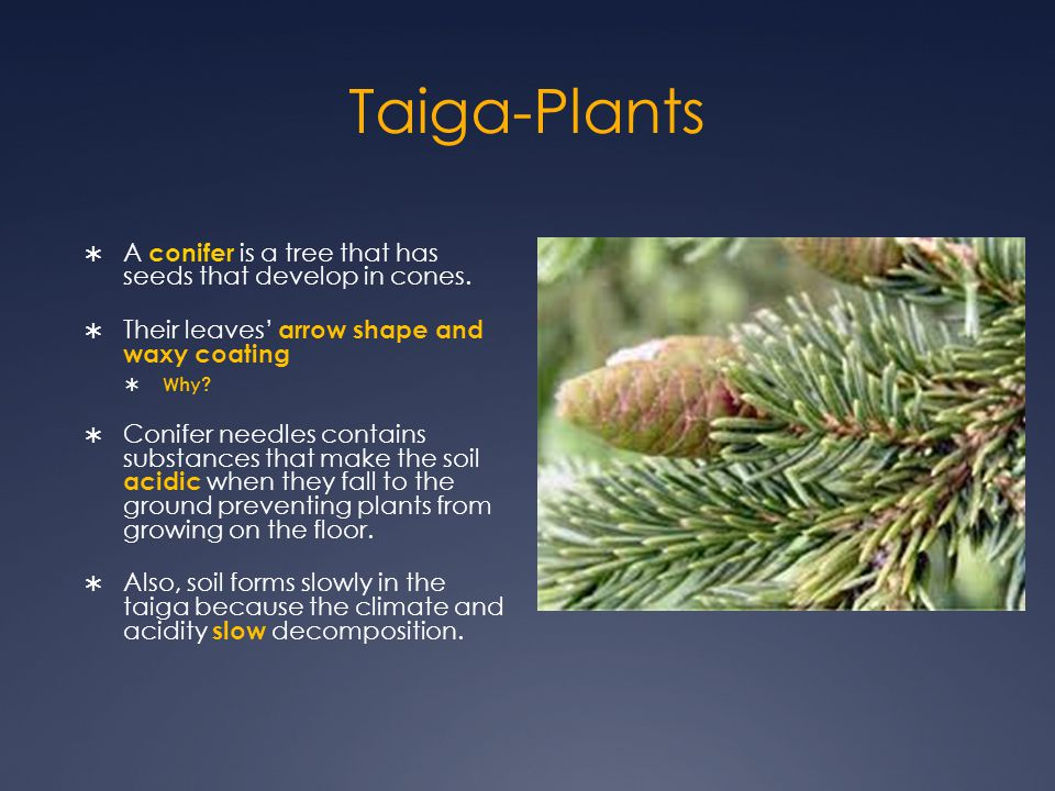 Taiga-Plants A conifer is a tree that has seeds that develop in cones.