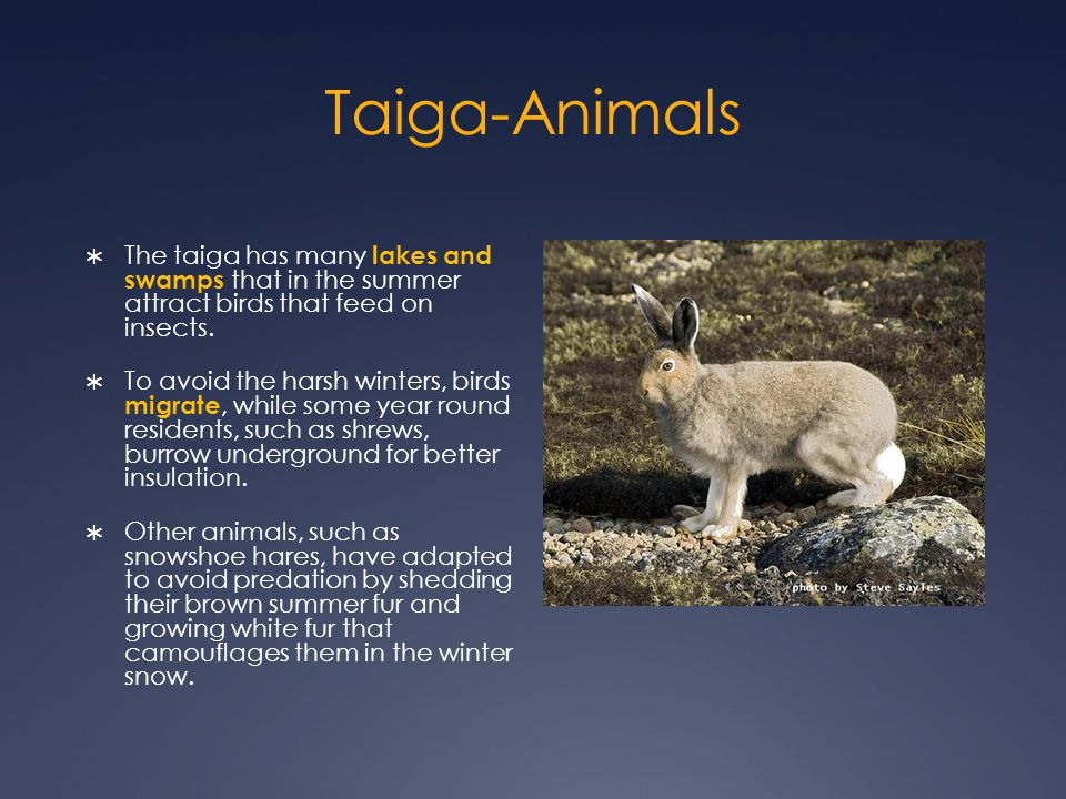 Taiga-Animals The taiga has many lakes and swamps that in the summer attract birds that feed on insects.