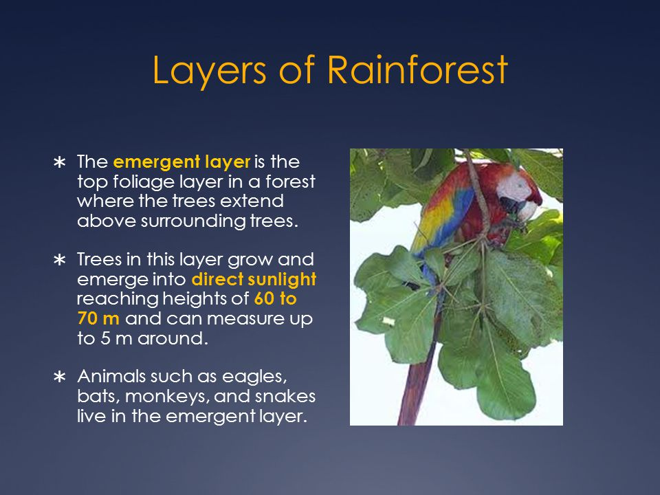 Layers of Rainforest The emergent layer is the top foliage layer in a forest where the trees extend above surrounding trees.