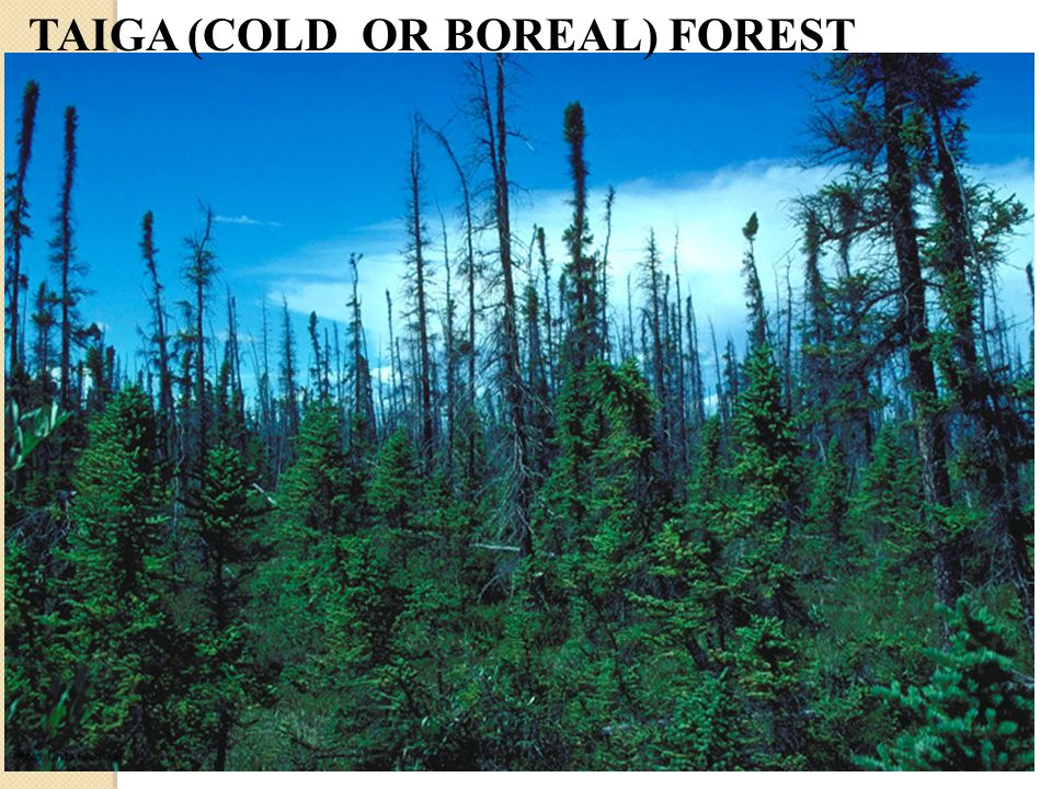 TAIGA (COLD OR BOREAL) FOREST