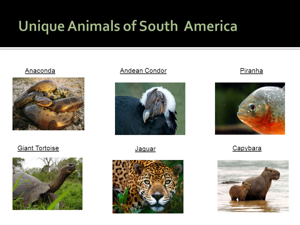 Unique Animals of South America
