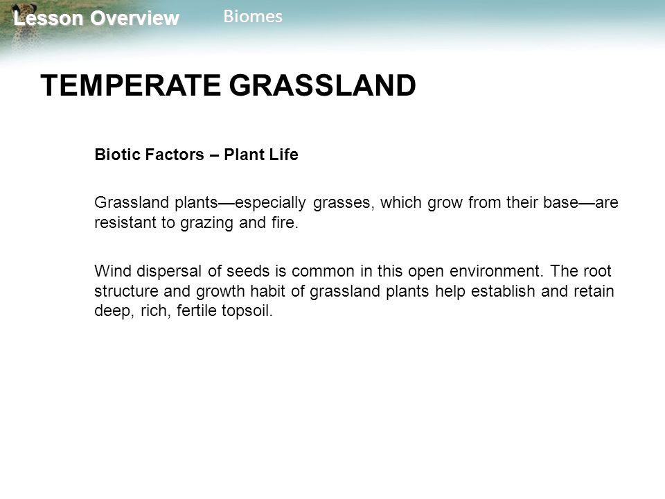 TEMPERATE GRASSLAND Biotic Factors – Plant Life
