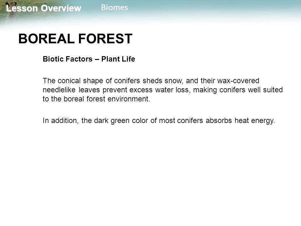 BOREAL FOREST Biotic Factors – Plant Life