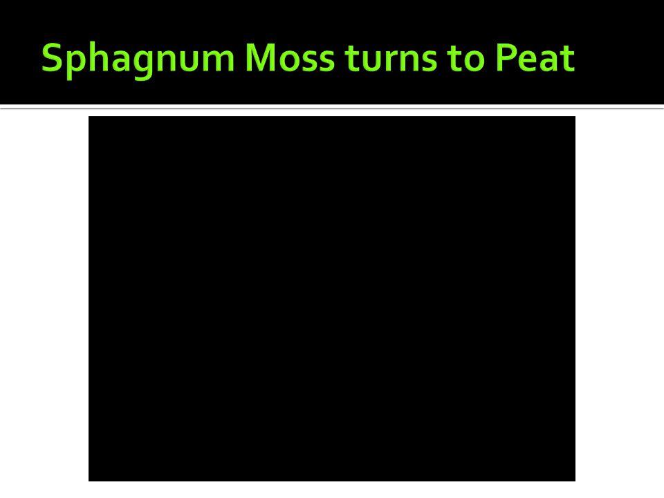 Sphagnum Moss turns to Peat