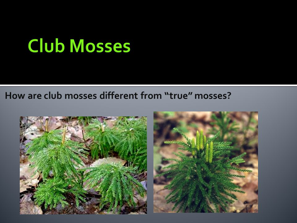Club Mosses How are club mosses different from true mosses