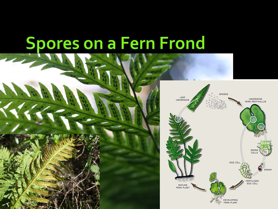 Spores on a Fern Frond