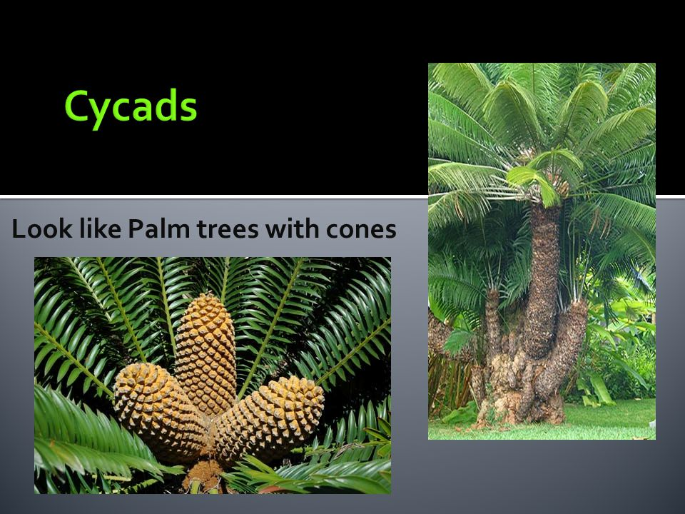 Cycads Look like Palm trees with cones