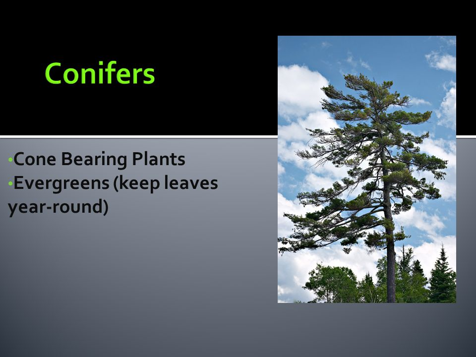 Conifers Cone Bearing Plants Evergreens (keep leaves year-round)