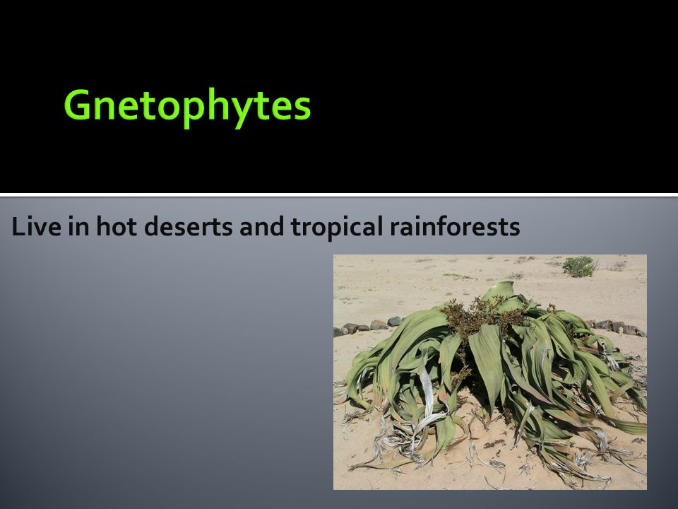 Gnetophytes Live in hot deserts and tropical rainforests