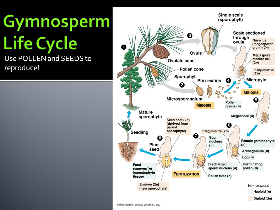 Gymnosperm Life Cycle Use POLLEN and SEEDS to reproduce!