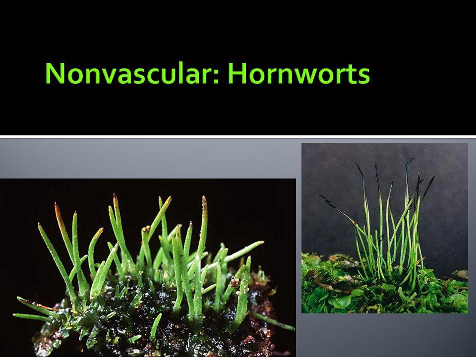 Nonvascular: Hornworts