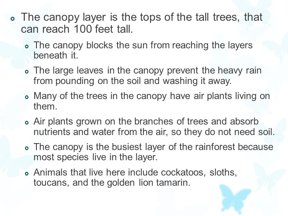 The canopy layer is the tops of the tall trees, that can reach 100 feet tall.