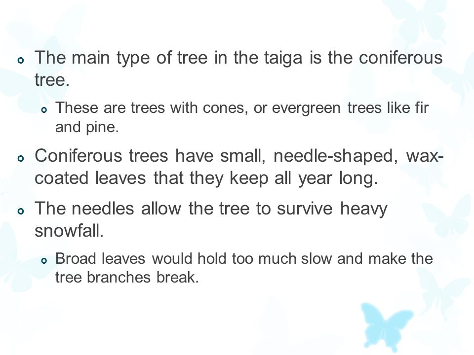 The main type of tree in the taiga is the coniferous tree.