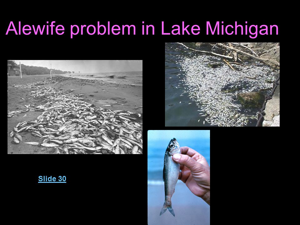 Alewife problem in Lake Michigan