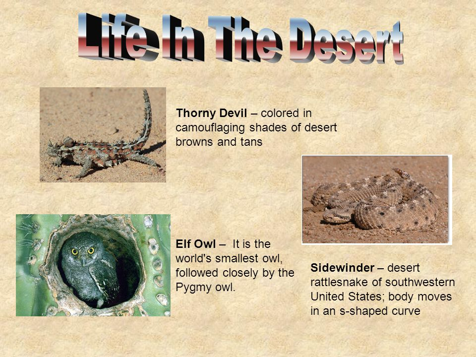 Life In The Desert Thorny Devil – colored in camouflaging shades of desert browns and tans.