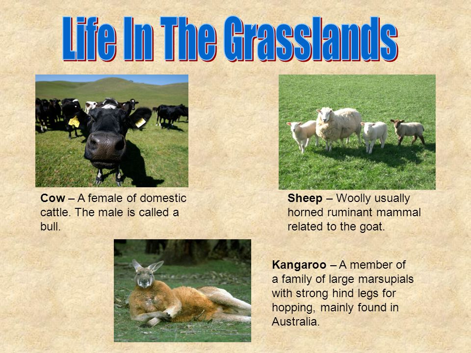 Life In The Grasslands Cow – A female of domestic cattle. The male is called a bull.