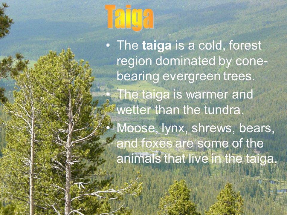 Taiga The taiga is a cold, forest region dominated by cone-bearing evergreen trees. The taiga is warmer and wetter than the tundra.