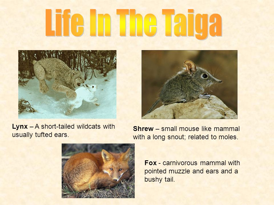 Life In The Taiga Lynx – A short-tailed wildcats with usually tufted ears. Shrew – small mouse like mammal with a long snout; related to moles.