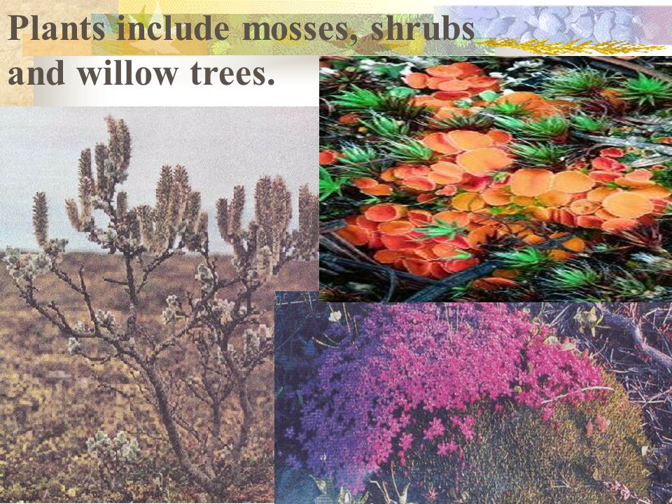 Plants include mosses, shrubs and willow trees.