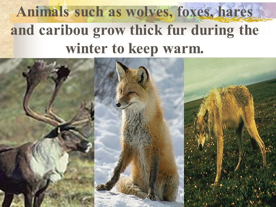 Animals such as wolves, foxes, hares and caribou grow thick fur during the winter to keep warm.