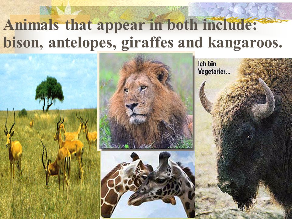 Animals that appear in both include: bison, antelopes, giraffes and kangaroos.