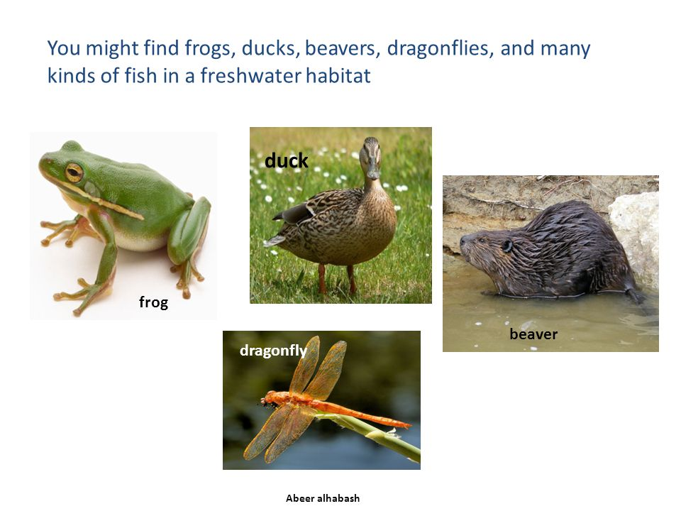 You might find frogs, ducks, beavers, dragonflies, and many kinds of fish in a freshwater habitat