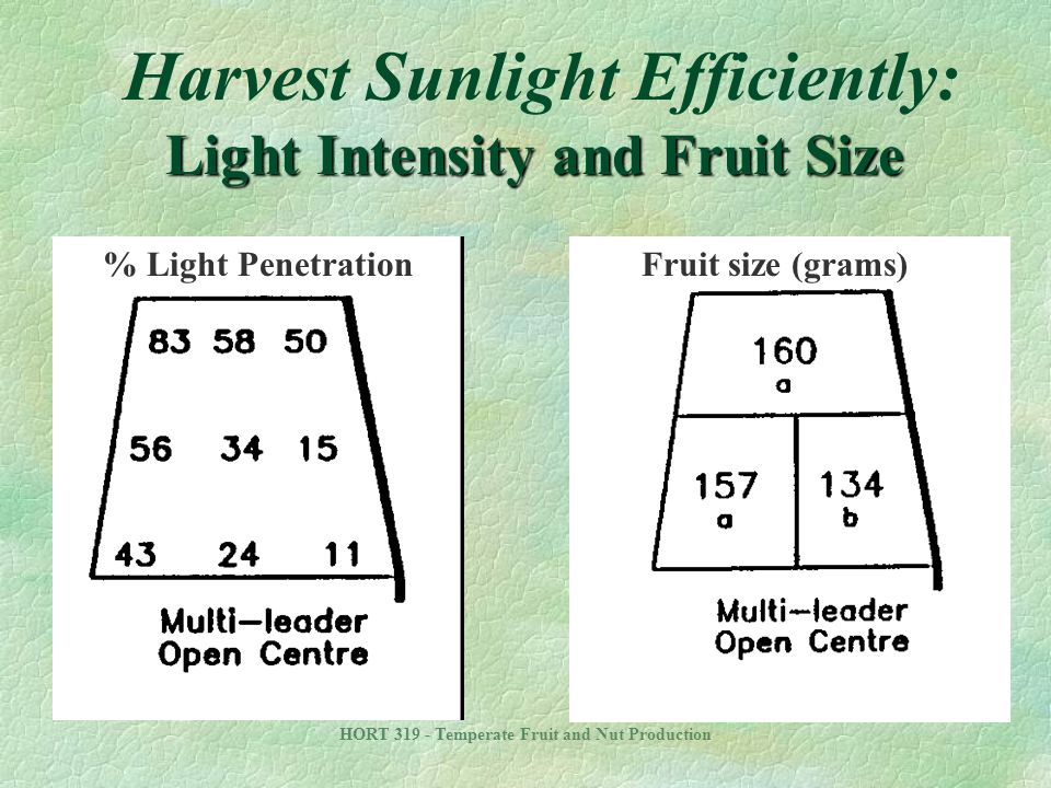 Harvest Sunlight Efficiently: Light Intensity and Fruit Size
