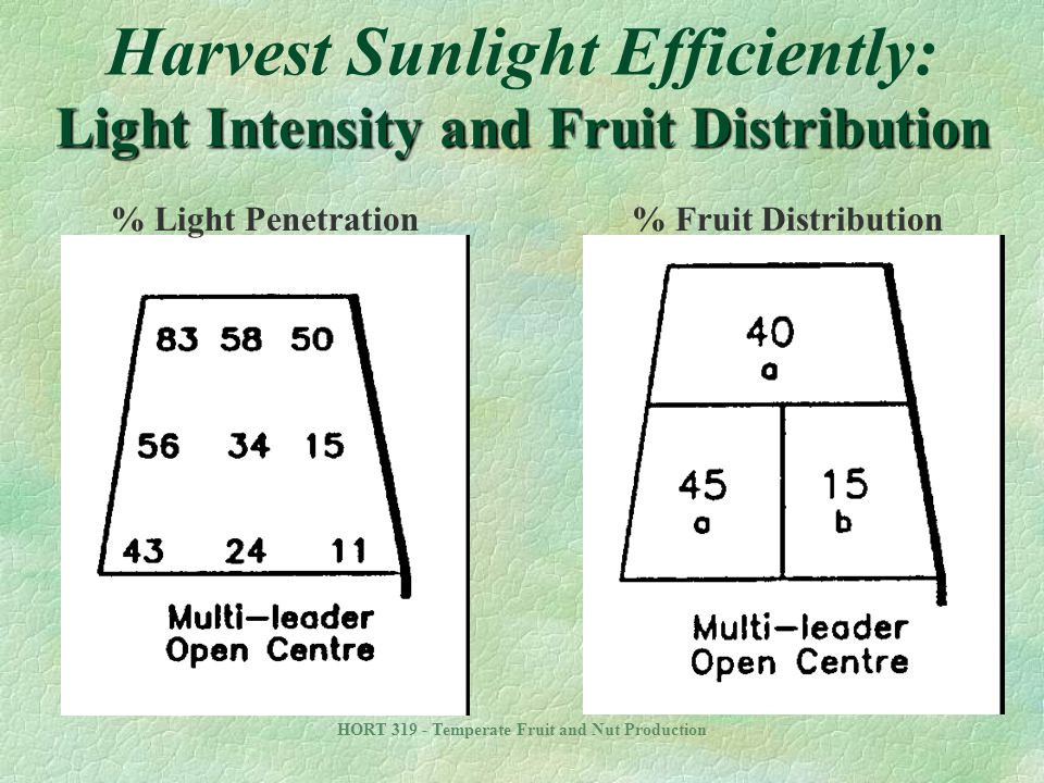 Harvest Sunlight Efficiently: Light Intensity and Fruit Distribution