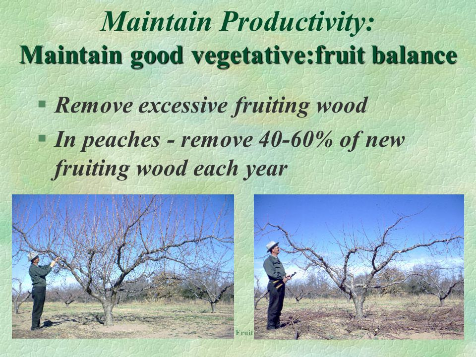 Maintain Productivity: Maintain good vegetative:fruit balance