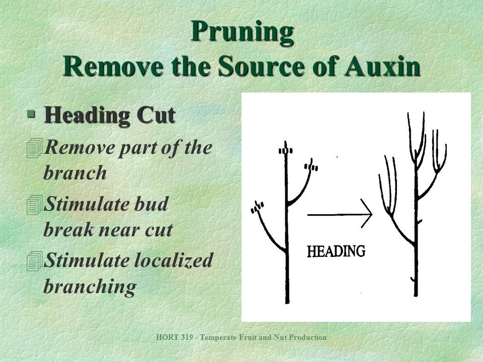 Pruning Remove the Source of Auxin
