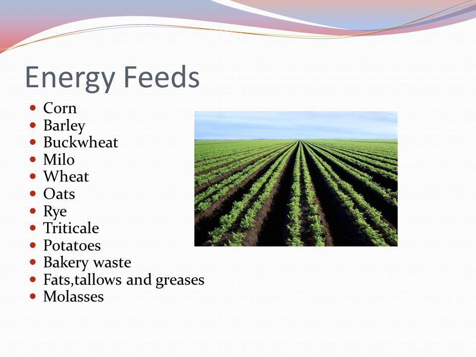 Energy Feeds Corn Barley Buckwheat Milo Wheat Oats Rye Triticale