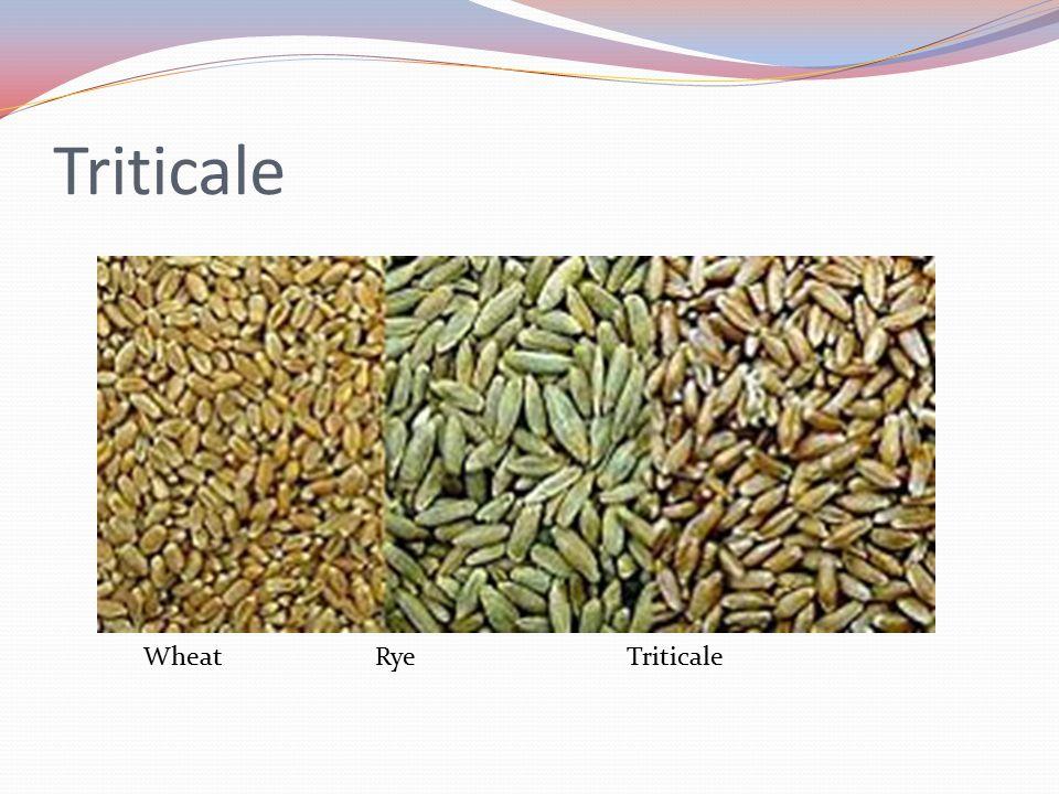 Triticale Wheat Rye Triticale