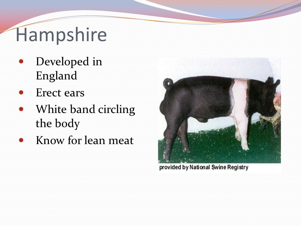 Hampshire Developed in England Erect ears White band circling the body