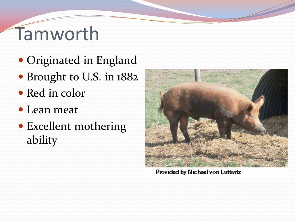 Tamworth Originated in England Brought to U.S. in 1882 Red in color