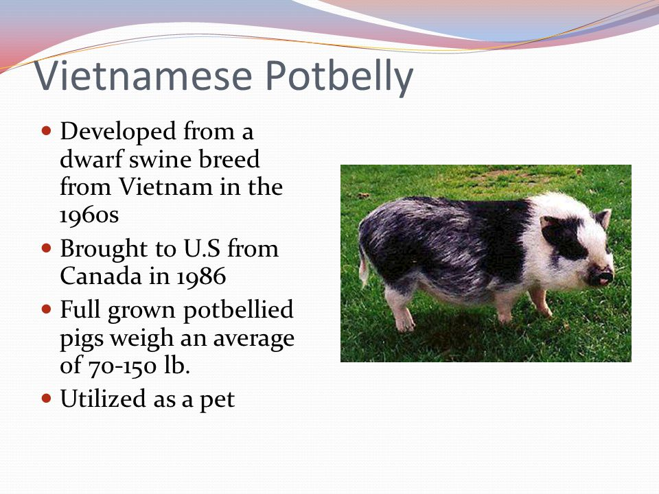 Vietnamese Potbelly Developed from a dwarf swine breed from Vietnam in the 1960s. Brought to U.S from Canada in 1986.