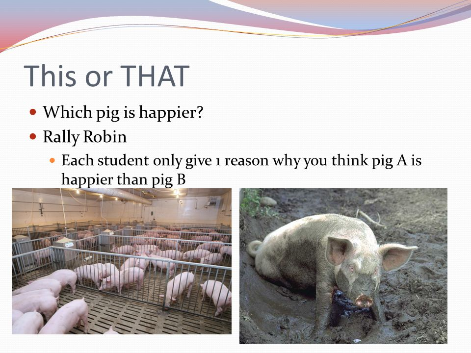 This or THAT Which pig is happier Rally Robin