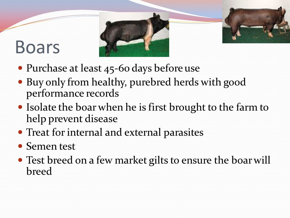 Boars Purchase at least 45-60 days before use