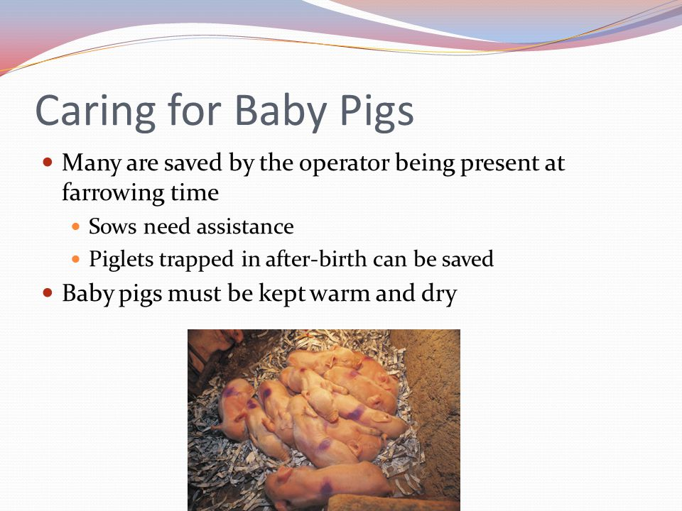 Caring for Baby Pigs Many are saved by the operator being present at farrowing time. Sows need assistance.