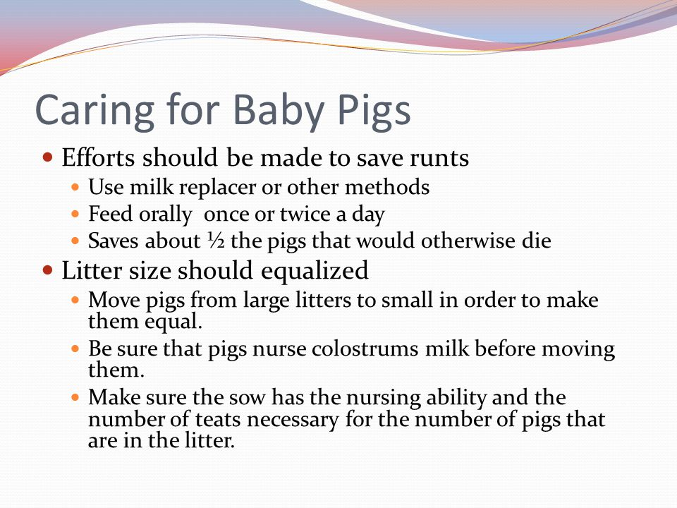 Caring for Baby Pigs Efforts should be made to save runts