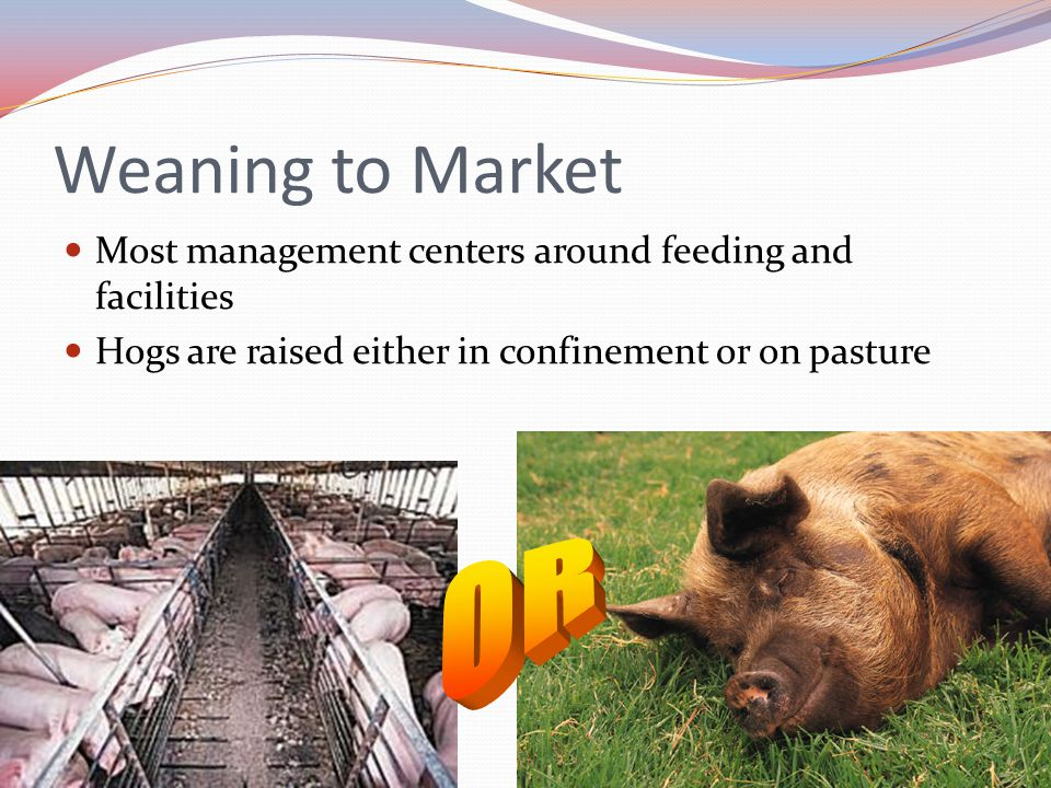 Weaning to Market Most management centers around feeding and facilities. Hogs are raised either in confinement or on pasture.