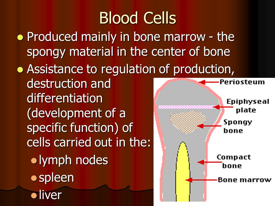 Blood Cells Produced mainly in bone marrow - the spongy material in the center of bone.