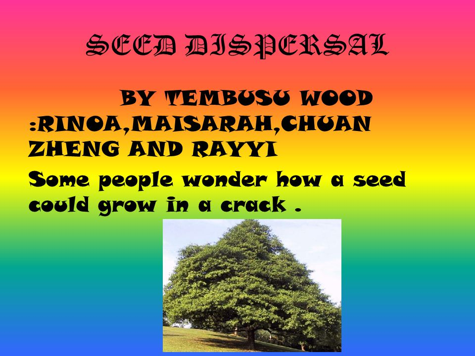 SEED DISPERSAL BY TEMBUSU WOOD :RINOA,MAISARAH,CHUAN ZHENG AND RAYYI Some people wonder how a seed could grow in a crack .