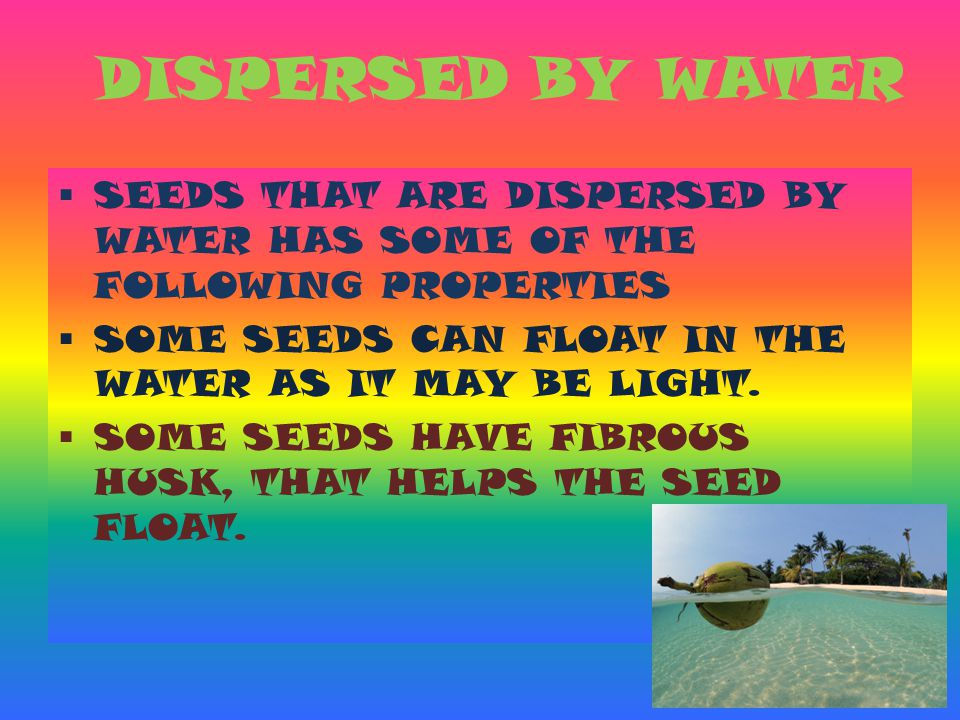 DISPERSED BY WATER SEEDS THAT ARE DISPERSED BY WATER HAS SOME OF THE FOLLOWING PROPERTIES. SOME SEEDS CAN FLOAT IN THE WATER AS IT MAY BE LIGHT.