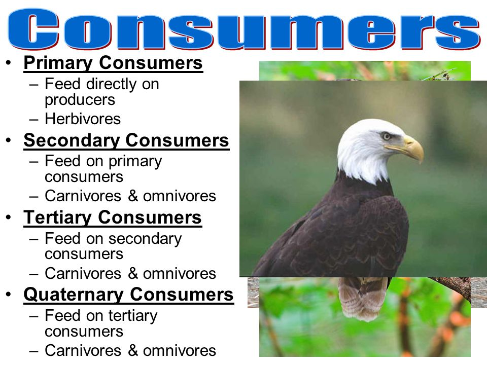Consumers Primary Consumers Secondary Consumers Tertiary Consumers