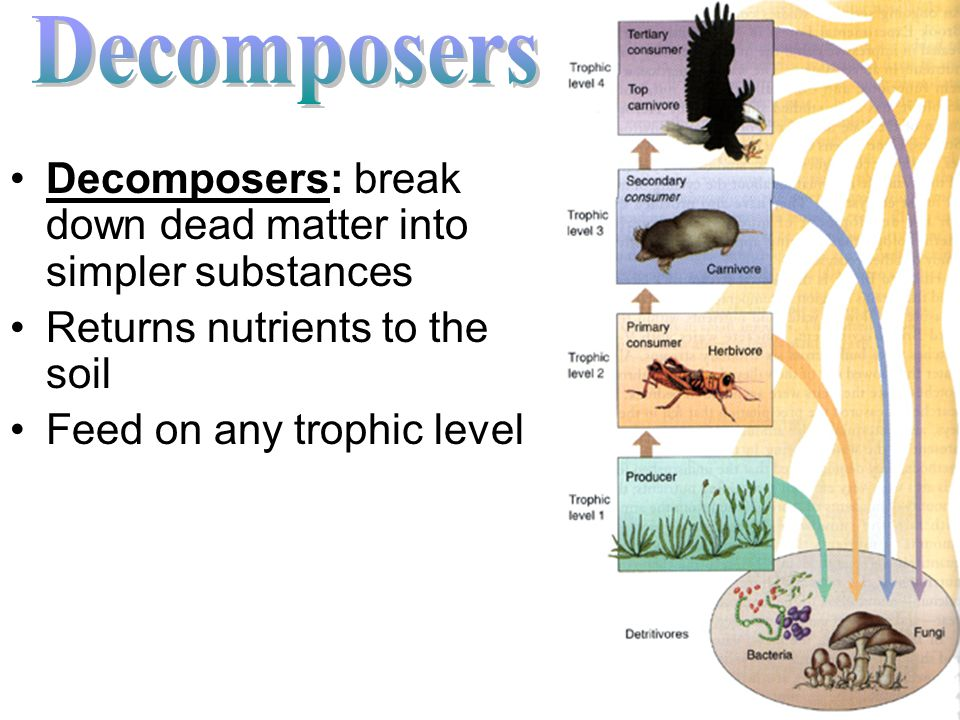 Decomposers Decomposers: break down dead matter into simpler substances. Returns nutrients to the soil.