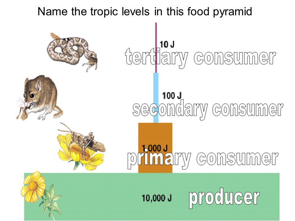 Name the tropic levels in this food pyramid