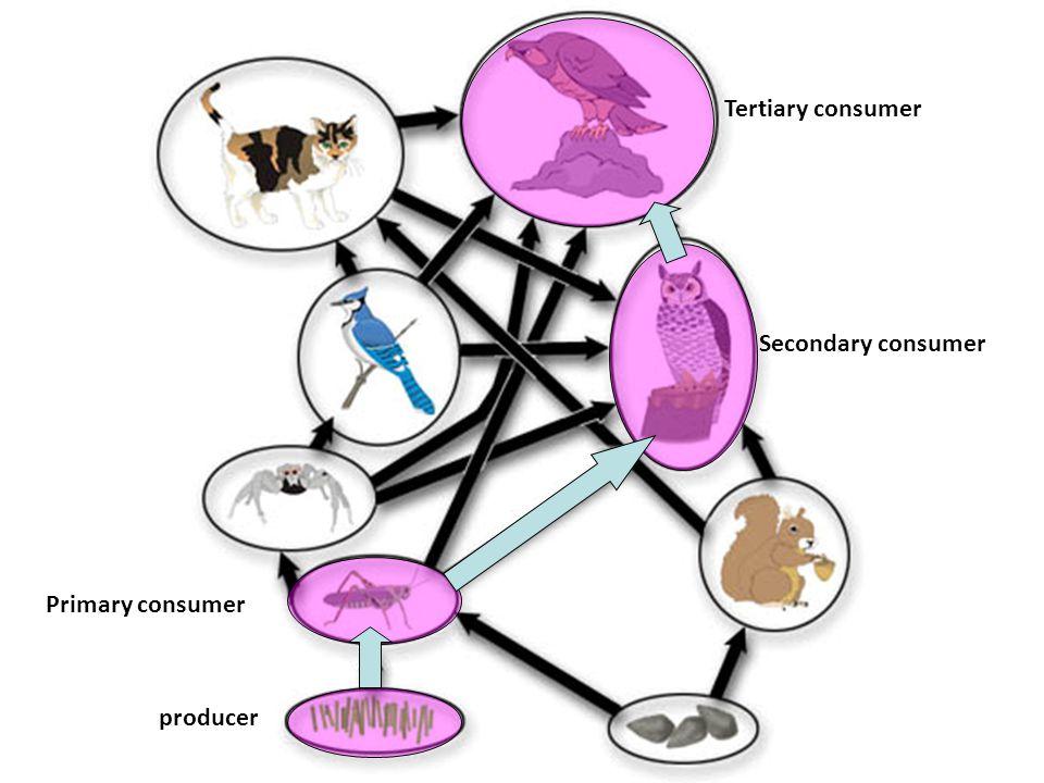 Tertiary consumer Secondary consumer Primary consumer producer