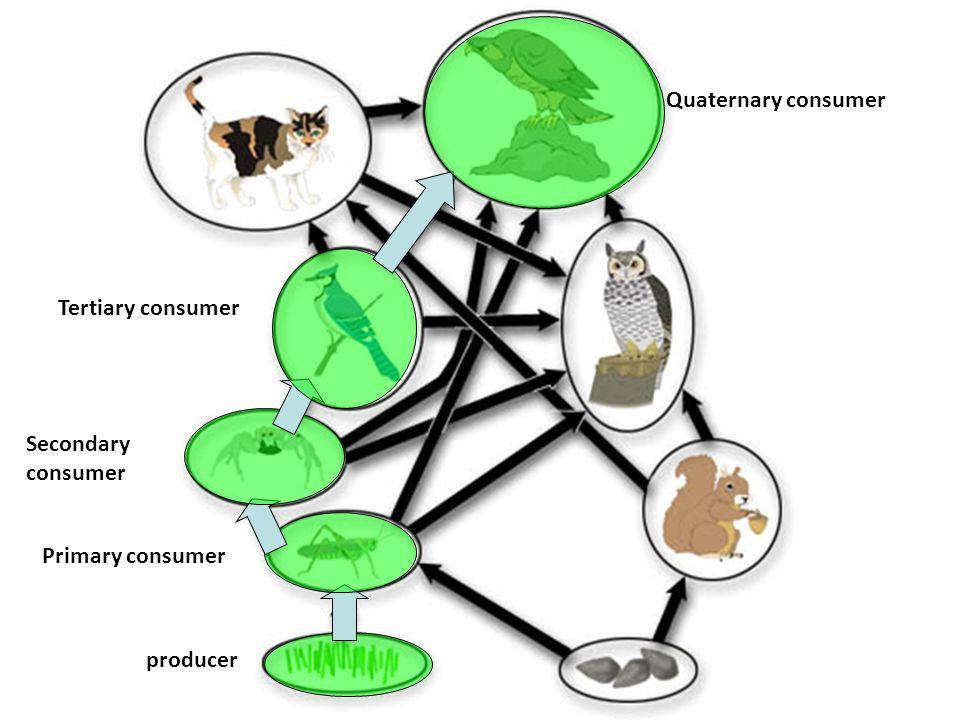 Quaternary consumer Tertiary consumer Secondary consumer Primary consumer producer