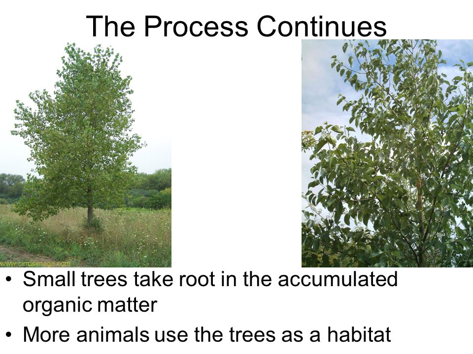 The Process Continues Small trees take root in the accumulated organic matter.
